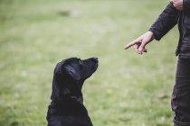 Собака-дрессировщик, раздающая команду Черному лабрадору . — стоковое фото