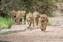 Stolz der jungen Löwen, die im Flussbett gehen, wegschauen, Ohren zurück, Afrika — Stockfoto