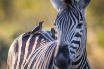 Red-billed oxpeckers perched on back of zebra in Africa — Stock Photo