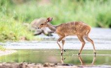 Buschbock läuft über stillen Bach, Ohren zurück, Grün im Hintergrund, Afrika — Stockfoto