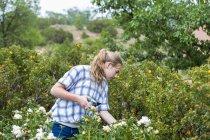 Rubia adolescente cortando flores de rosas de jardín formal . - foto de stock