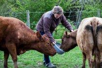 Женщина кормит двух коричневых коров на ферме . — стоковое фото