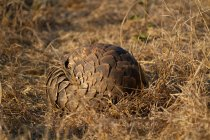 Pangolin lying curled up in brown grass in Africa. — Stock Photo