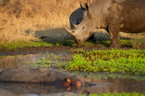 White rhino and calf standing at edge of waterhole with hippo in Africa. — Stock Photo