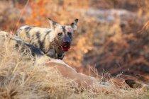Wilder hund mit blutüberströmtem maul und ohren im rücken stehend in afrika. — Stockfoto