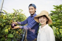 Japanese man wearing cap and woman wearing hat standing in vegetable field, picking fresh aubergines. — Stock Photo