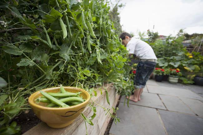 Teen picking peas to bowl — Stock Photo