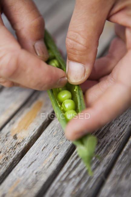 Person shelling fresh peas. — Stock Photo