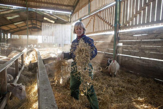 Woman shepherd in sheep barn — Stock Photo