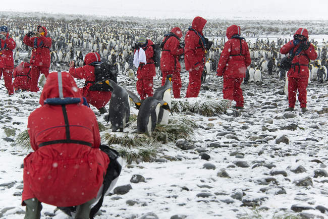 Travellers observing and photographing king penguins. — Stock Photo
