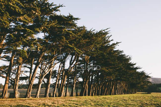 Row of Monterey Cypress trees — Stock Photo