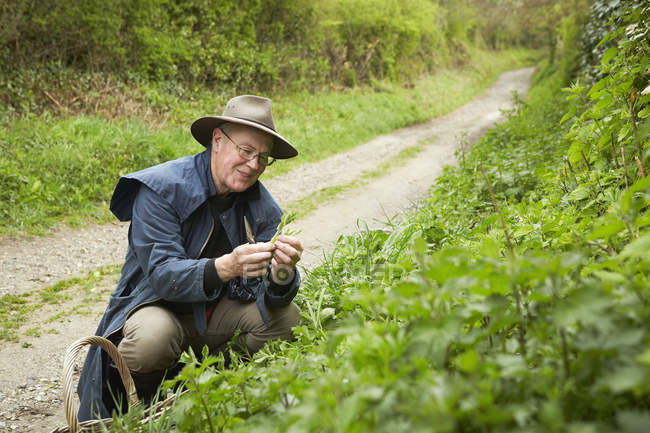 Man foraging for edible, plants and hedgerow — Stock Photo