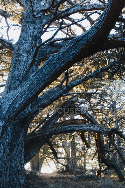 Великий зрілих дерев кипариса Монтерей — стокове фото
