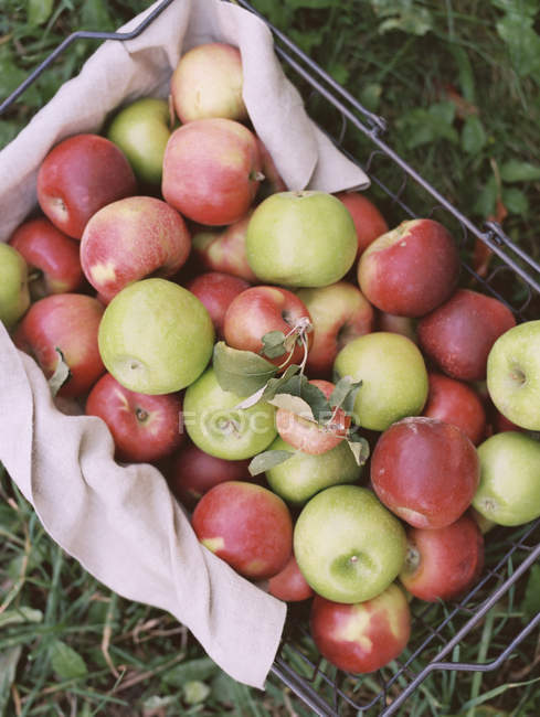 Basket of apples in Apple orchard — Stock Photo