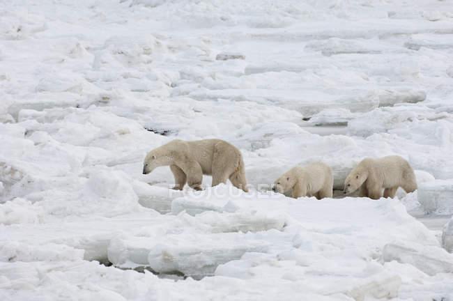 Grupo de osos polares en naturaleza - foto de stock