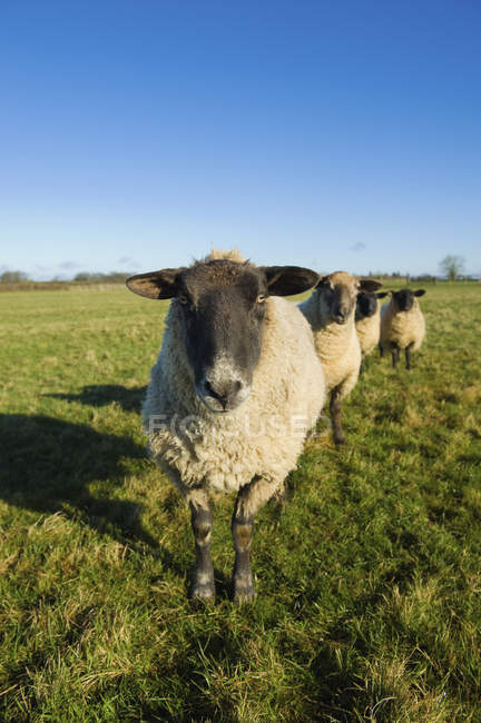 Small flock of sheep — Stock Photo