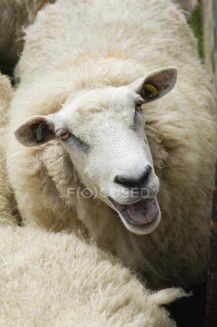 Sheep in pen on farm. — Stock Photo