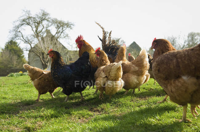 Small flock of hens — Stock Photo