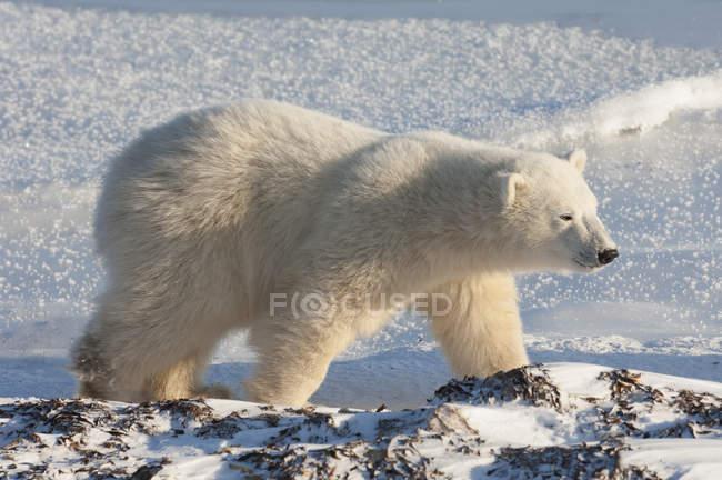 Oso polar en un nevero - foto de stock