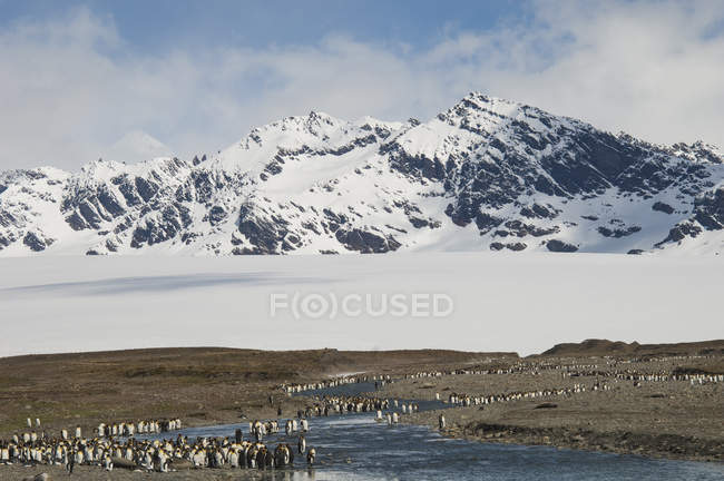 Grupo de pingüinos en la isla de Georgia del sur - foto de stock