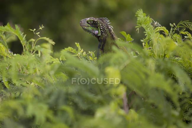 Green Iguana in lush foliage — Stock Photo