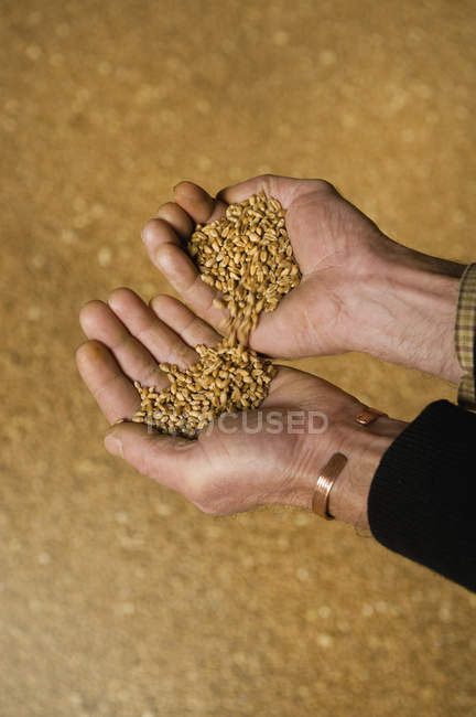 Mans hands pouring wheat — Stock Photo
