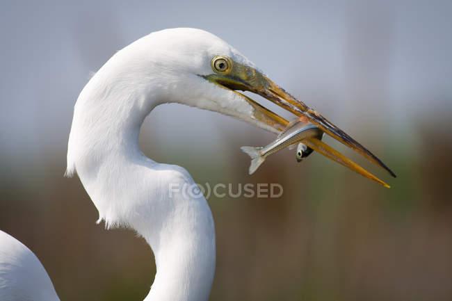 Airone bianco con un pesce — Foto stock