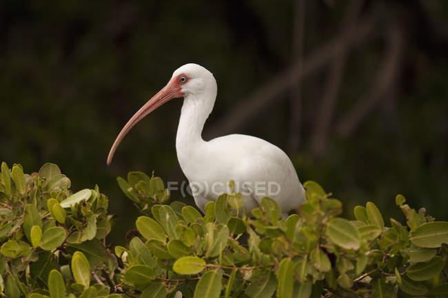Ibis bianco in mangrovie. — Foto stock
