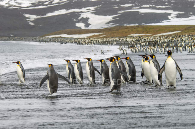 Grupo de pingüinos Rey - foto de stock