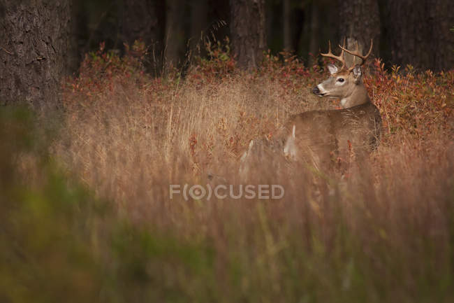 Male deer in tall grass. — Stock Photo