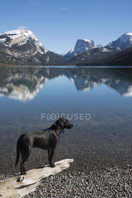 Perro labrador negro - foto de stock