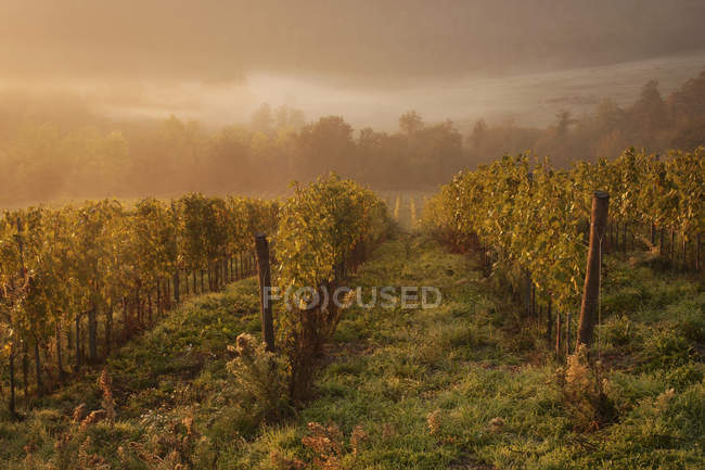 Vines in a vineyard in autumn. — Stock Photo
