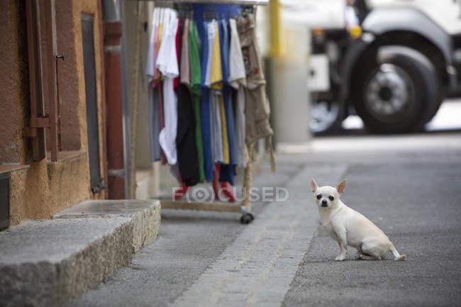 Chien Chihuahua petit — Photo de stock