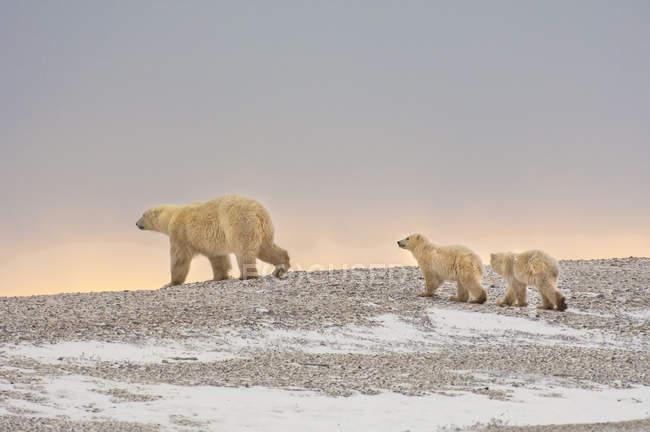 Polar bears group — Stock Photo