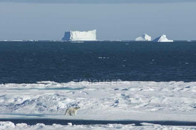 Oso polar caminando por hielo - foto de stock