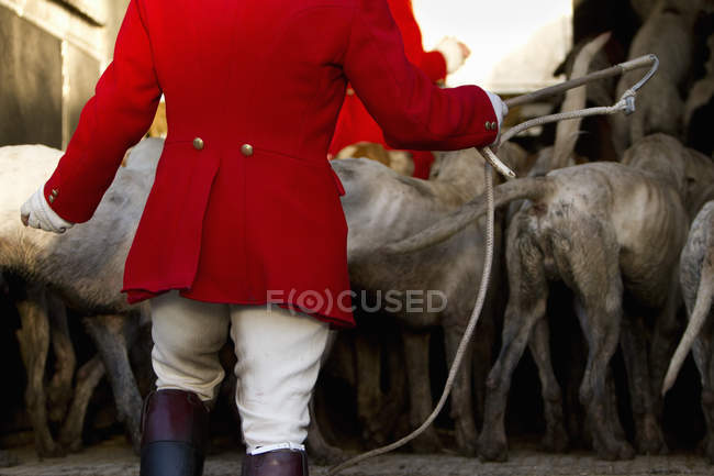 Foxhounds ready for the hunt — Stock Photo