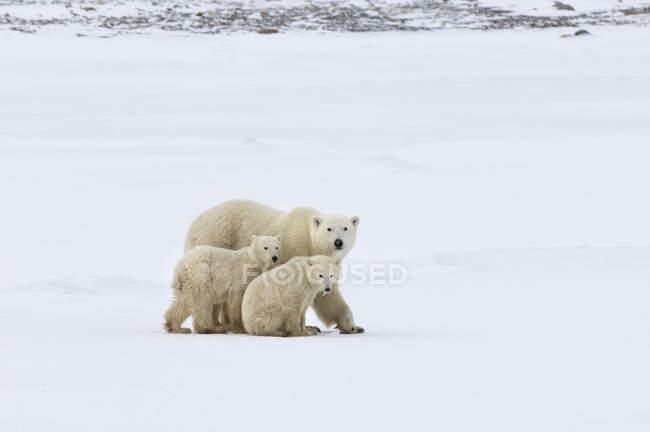 Grupo de osos polares - foto de stock