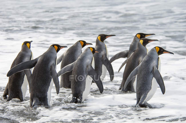 Grupo dos Pinguins do Rei — Fotografia de Stock