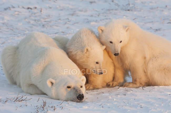 Polar bears family — Stock Photo