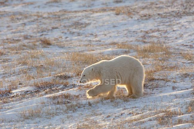 Polar bear crossing a snowfield — Stock Photo