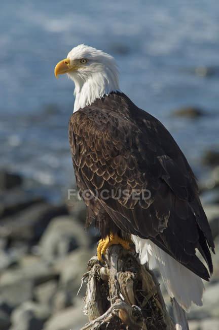 Águila calva encaramado en una roca. - foto de stock