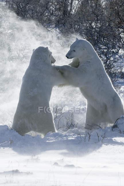 Two polar bears — Stock Photo
