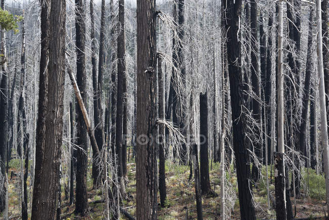Charred tree trunks — Stock Photo