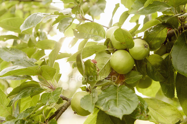 Green apples on the branches — Stock Photo