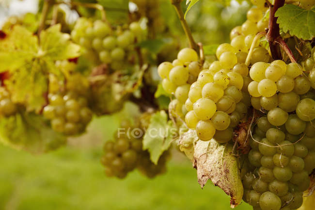 Green grapes hanging on the vine. — Stock Photo