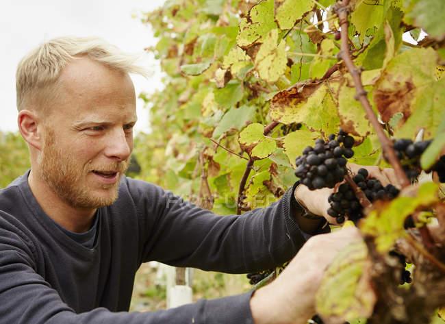 Grape picker at work — Stock Photo