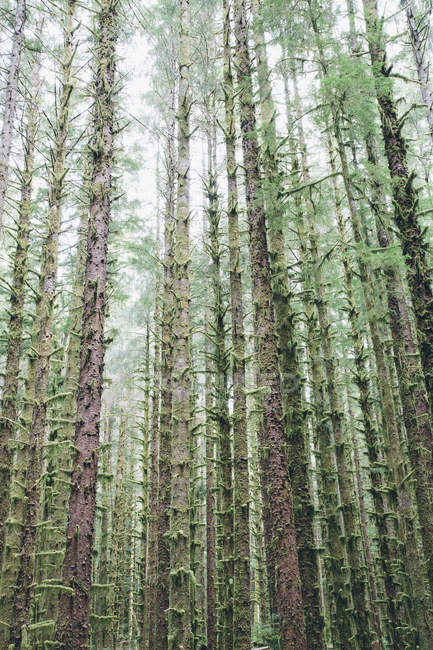 Sitka Spruce and Western Hemlock trees — Stock Photo