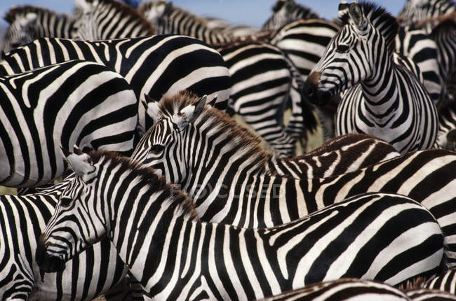 Gregge della zebra, Equus quagga — Foto stock