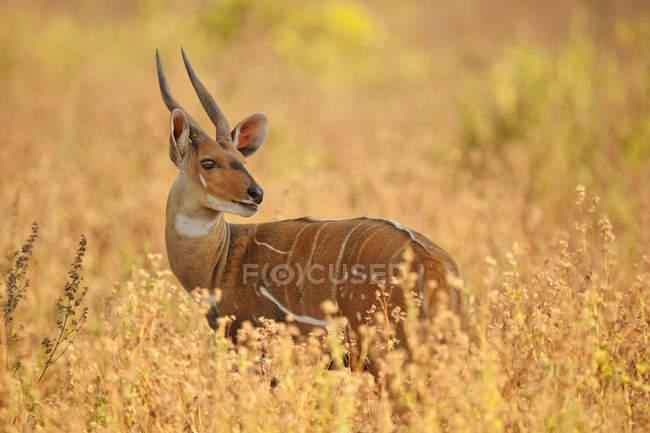 Bushbuck maschio, Tragelaphus scriptus — Foto stock