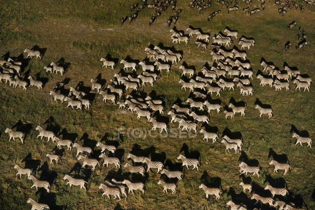 Зебр міграції, кінь quagga — стокове фото